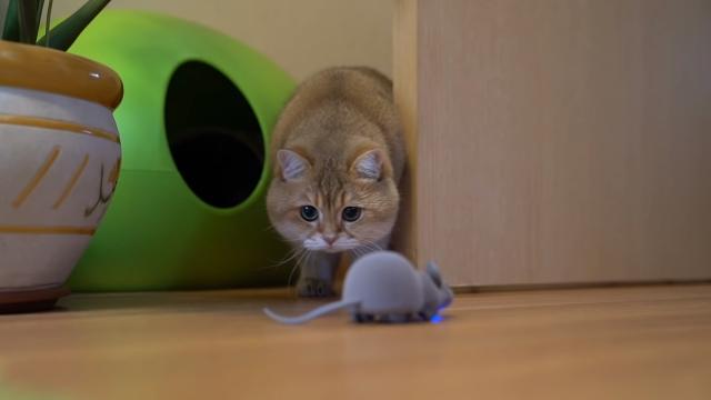 ネズミのおもちゃの予測不能な動きにおっかなびっくりな猫