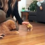 おもちゃの犬を可愛がる飼い主にやきもちを焼くゴールデンレトリバー