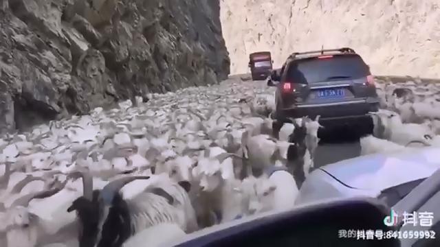 ヤギの群れの前でヤギの鳴き声を真似すると面白いことが起きる