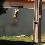 フェンス越えに挑戦する犬・・・何度失敗しても挫けない精神力がスゴイ!