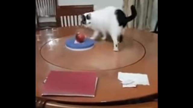 ターンテーブルの上で延々と回り続ける猫