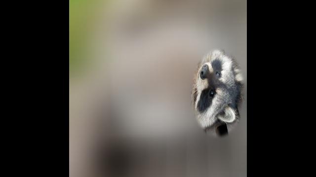 食べ過ぎは良くないことを身をもって証明したアライグマの写真