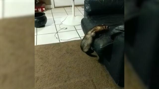 ソファーに登ろうとするフェレットを手助けする優しいロトワイラー犬