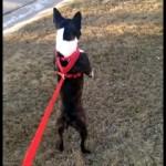 散歩中、突然二足立ちのまま走り出した犬の驚きの行動!