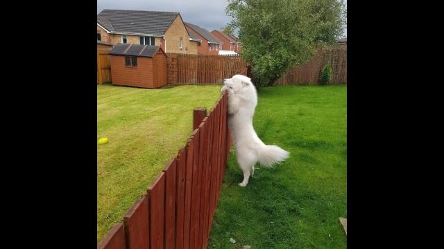裏庭で犬を放し飼いしている飼い主がフェンスを取り外したくなったワケ・・・