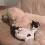 同居犬をマッサージチェアにしてくつろぐ猫