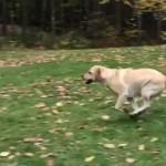 落ち葉の山に豪快にダイブするラブラドール犬がおもしろ可愛い