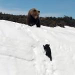 母親を追って雪壁を必死に登る子グマのハラハラする映像