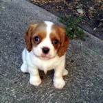 犬種の異なる両親から生まれたミックス犬たちのかわいい写真集その2 25枚