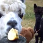 一切れのリンゴをいつまでも食べ続けるアルパカがおもしろい!