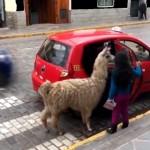 ペルーのクスコで目撃されたアルパカの珍しい光景