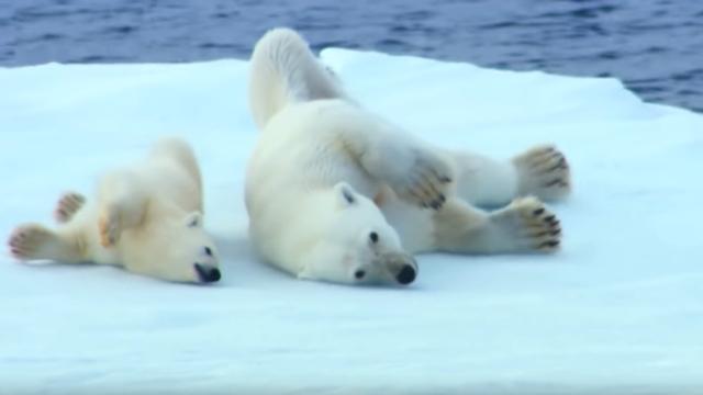 海から上がったホッキョクグマ親子が素早く体を乾かす方法が可愛すぎる!