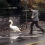 道に迷った白鳥を水辺に導いてあげる心優しい男性