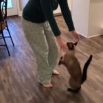 抱っこの前にストレッチのポーズをとるユニークな猫