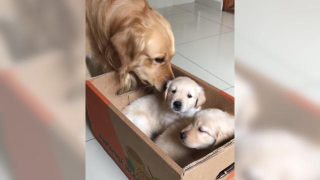 新しく家族に迎え入れた子犬→先住犬からまさかの洗礼を受ける