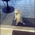「ニャンで通れないの!?」ガラスを通り抜けようと必死な猫
