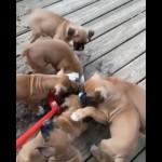 掃除のお手伝い?をしてくれる有難迷惑な子犬たち