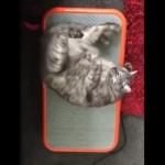 振動フィットネスマシンの上に寝転びながらリラックスする猫