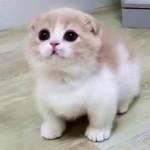 マンチカンの子猫が可愛すぎてハートがメロメロ♡