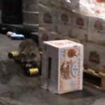 アルコール販売業者の倉庫に侵入し、千鳥足状態で発見されたアライグマ