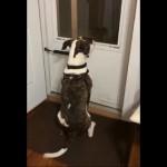帰宅した飼い主が近付くにつれて尻尾の振りを加速させる犬がおもしろ可愛い!