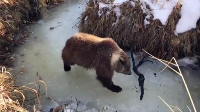 凍りついた川の上で木の枝をオモチャにして遊ぶ子グマがかわいい!