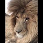 ライオンがくしゃみをする瞬間を捉えた珍しい映像