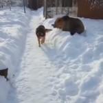 クマに喧嘩を吹っかけられるも、まったく動じないマイペースな犬がおもしろい!