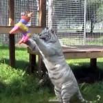 おもちゃで遊ぶネコ科の猛獣・・・デカくてもやっぱり猫なんだ
