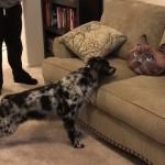 ソファーに置かれた猫クッションを怖がる犬がかわいい!