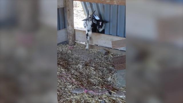 柵を飛び越えたヤギたちに次々と連鎖する珍事がおもしろ可愛い