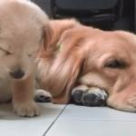 睡魔に襲われてあっさりと寝落ちしてしまう子犬が可愛い