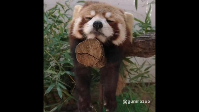 木の上で絶妙なバランスを保ちながら居眠りをする可愛いレッサーパンダ