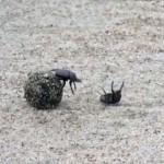 フン玉を巡る2匹のフンコロガシのフン奪戦がおもしろい(アフリカ)