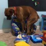 子ども用の小さな椅子に座りたいけど、フィットする座り方が見出せず落ち着きのない犬