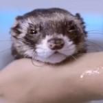 お風呂が気持ちよくて今にも寝てしまいそうなフェレット