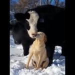 愛情を込めて犬の毛づくろいをする犬のことが大好きな牛