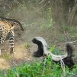 ヒョウに襲われた子どもを守ろうと、果敢に立ち向かうラーテル母さんがスゴイ