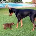大きなドーベルマンにちょっかいを出す小っちゃな可愛い子犬