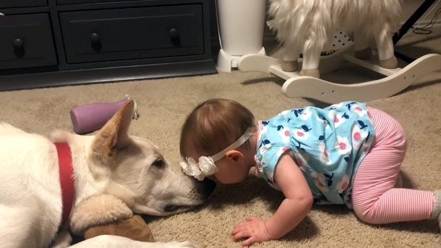 大好きな愛犬にお返しのキスをされて嬉しそうな赤ちゃん