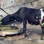 井戸の手押しポンプを自分で操作して水を飲む賢い牛