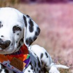 鼻のようなハート型の斑点がかわいいダルメシアンの子犬