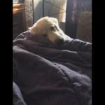 自分でベッドに入り布団をかぶってお昼寝をする賢いワンちゃん