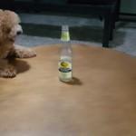 テーブル上のボトルが欲しくてテーブルの周りをグルグル回り続ける犬