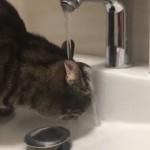 頭がびしょ濡れになりながら黙々と水を飲む猫