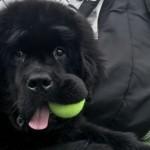 超大型犬に似合わずおもしろくてキュートなニューファンドランド犬の写真いろいろ