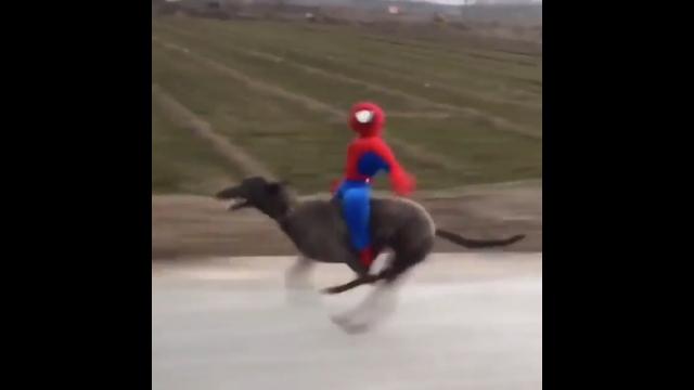 スパイダーマンを背に乗せて全力疾走する犬がおもしろくてカッコいい