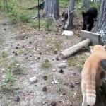 猫の縄張りに侵入して威嚇された野生の子グマ・・・半端なく凄い逃げっぷり
