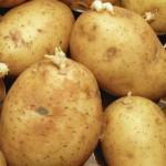 芽が出たジャガイモを339日間放置した結果、スゴイことに・・・