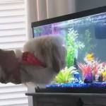 熱帯魚が泳ぐ水槽を見せたときの愛犬の反応がおもしろ可愛い